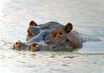 Hipopótamo/Hippopotamus