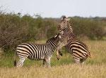 Zebra/Zebra
