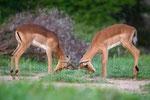 Antílopes/Antelopes