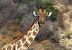 Girafa/Giraffe