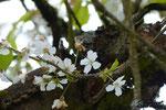 Kirschblüte, so zauberhaft