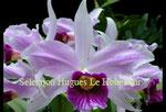 Laelia purpurata 'carnea x rosa-cereja PV Fob France 43€