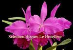 Cattleya jenmannii PV Fob France 25€