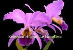 Cattleya gaskelliana PV Fob France 26€