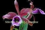Laelia tenebrosa PV Fob France 40€