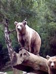 OURS visible dans le parc animalier d'Argelès Gazost