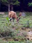 ISARD visible dans le parc animalier d'Argelè Gazost