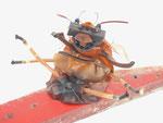 Rode mier 66x25x25cm