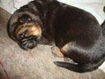 Portée d'Ilphie née le 15 février, 3 jours, mâle poil court