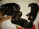 8 jours, chiots nés le 2 août