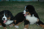 Foebus et Fydji, nés à l'élevage