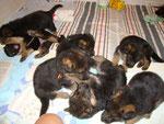 Chiots nés le 2 août, 30 jours, à réserver 1 mâle et 1 femelle