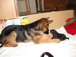 Dacynthe et bb bouvier bernois, née à l'élevage