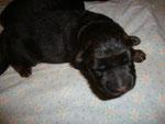 Portée d'Ilphie née le 15 février, 3 jours, mâle poil long