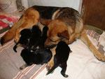 Baya et sa portée née le 31 octobre, chiots de 10 jours