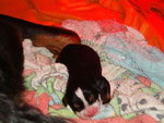 Kamille et son chiot né le 14 août, jour de la naissance
