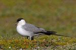 Falkenraubmöwe (Stercorarius longicaudus), Varanger, Norwegen