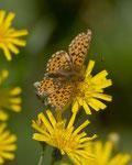 Silberfleck-Perlmuttfalter (Boloria euphrosyne), Remigen