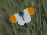 Aurorafalter (Anthocharis cardamines), Klingnauer Stausee