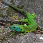 Smaragdeidechse (Lacerta bilineata), Sonlerto TI