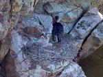 Schwarzstorch mit Jungvögeln im Nest, Monfragüe-Nationalpark, Extremadura E