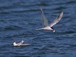 Flussseeschwalbe (Sterna hirundo), La Sauge / Cudrefin