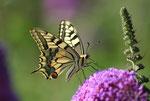 Schwalbenschwanz (Papilio machaon), Villigen