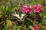 Schwalbenschwanz (Papilio machaon), Bristen UR