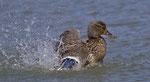 April: Stockenten-Weibchen am Klingnauer Stausee