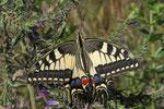 Schwalbenschwanz (Papilio machaon), Villnachern