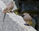 Zwei juvenile Hausrotschwänze warten auf die Fütterung