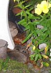 Jungigel werden von Mutter gesäugt, Villnachern