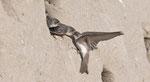 Juli: Uferschwalben, Chly Rhy bei Rietheim