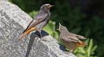 August: Hausrotschwanz mit Jungvogel, Intragna TI