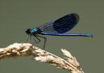 Gebänderte Prachtlibelle (Calopteryx splendens), Biberstein