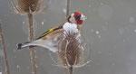 Januar: Distelfink an verblühter Karde, in unserem Garten in Villnachern