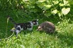 Igel mit unserer Katze Pfüdi, Villnachern