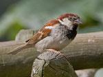 Das Männchen unterscheidet sich vom Haussperling durch den rotbraunen Scheitel und den weisseren Wangenfleck
