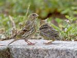 Girlitz (Serinus serinus) Weibchen mit zerzaustem Jungvogel, Trujillo, Extremadura
