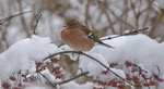 Dezember: Buchfink im verschneiten Garten in Villnachern