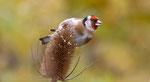 Oktober: Distelfink, Villnachern