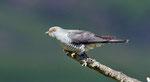 Titelbild: Kuckuck auf der Insel Mull, Schottland