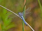 Plattbauchlibelle (Libellula depressa), Villnachern