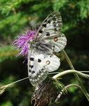 Alpen-Apollofalter (Parnassius phoebus), Boltigen