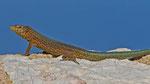 Dragonera-Eidechse (Podarcis lilfordi ssp.giglioli), endemische Unterart der Balearen-Eidechse