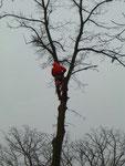 Der Baum-Spezialist klettert mit seiner Spezial-Ausrüstung auf den Baum. Der Baum wird Stück für Stück gefällt.