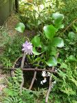 水辺に咲く布袋葵
