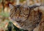 Auch die Wildkatze liebt die ruhige Landschaft des Stegskopfes