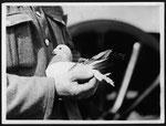 Nachrichten wurden am Bein der Taube befestigt...