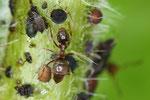 Ameisen beim Blattläuse melken